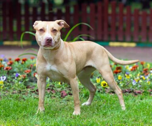 american pitbull terrier, des chiens dangereux ?