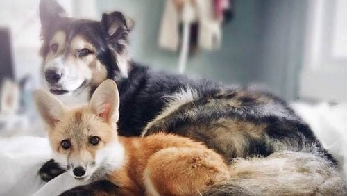 Un chien et un renard : un de nos couples d'amis inséparables !
