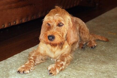 Découvrez le Basset fauve de Bretagne, un chien des plus amicaux