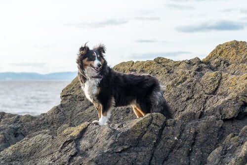 Berger des Shetland