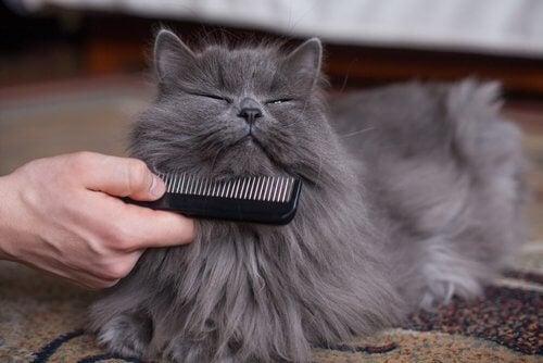 le brossage du chat pendant l'hiver