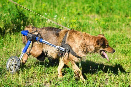 Découvrez la vie des chiens en fauteuils roulants
