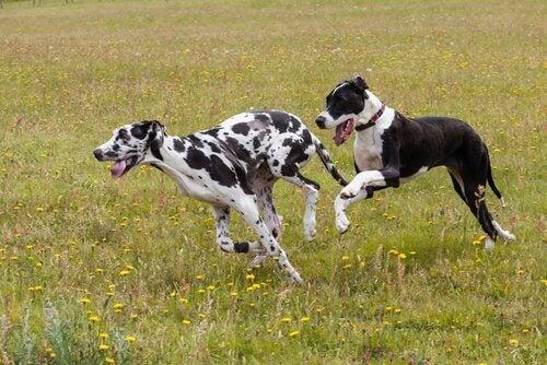 Des chiens qui courent