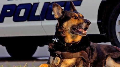 Un chien de détection d'explosifs allongé devant une voiture de police