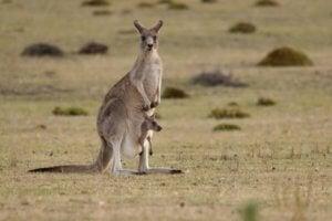 espèces endémiques d'Australie