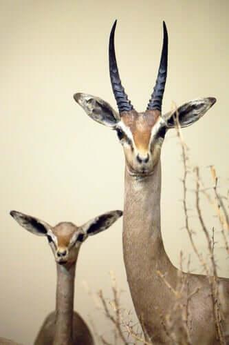 gazelle de Clarke