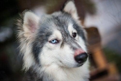 Les chiens peuvent avoir le hoquet