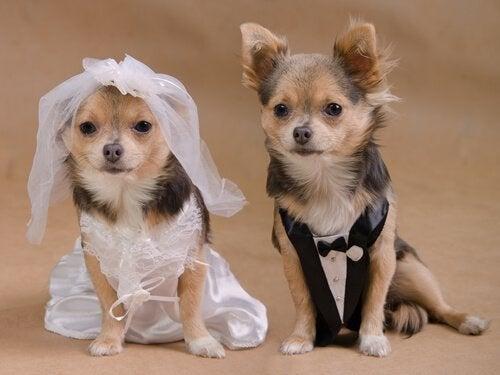 La dernière tendance :  le mariage entre chiens