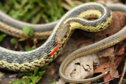 L'organe voméro-nasal chez les serpents