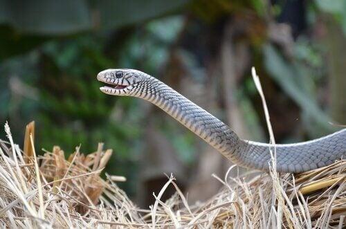Un serpent se servant de l'organe voméro-nasal