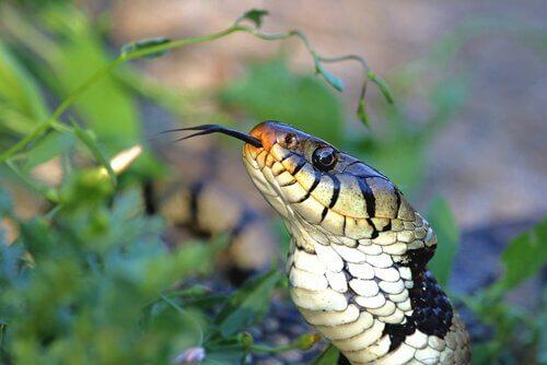 L'organe voméro-nasal des serpents