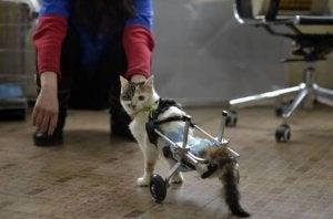 Un chat avec des prothèses bioniques
