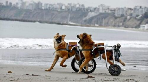 Des chiens en fauteuils roulants qui courent sur la plage
