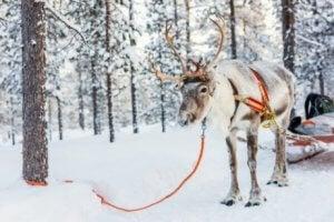 renne dans la neige