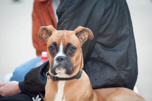 Thérapie neurale non invasive pour chiens