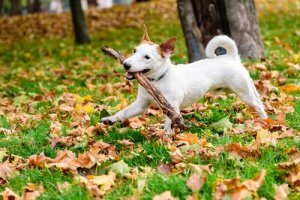 mieux vaut éviter de lancer un bâton à un chien