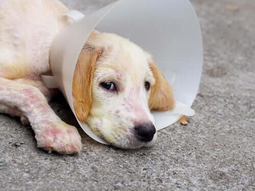 Traitement de la démodécie canine