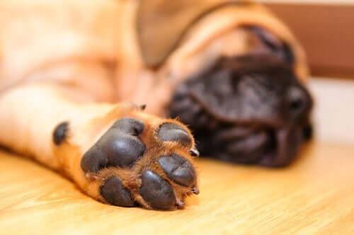 comment les chiens transpirent-ils ? par les coussinets
