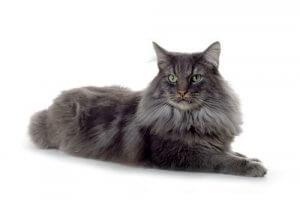 les caractéristiques du chat norvégien