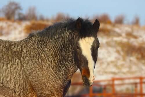 Le Curly : un cheval mystérieux et hypoallergénique