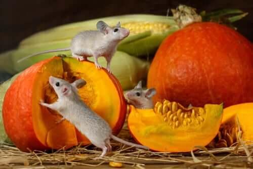 rongeurs mangeant de la citrouille en guise de friandises