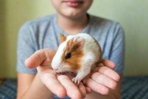 un cochon d'Inde dans les mains d'un enfant