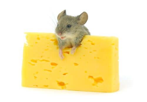 les morceaux de fromage font partie des friandises préférées des rongeurs