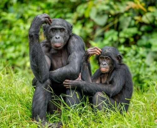 Une mère bonobo et son bébé