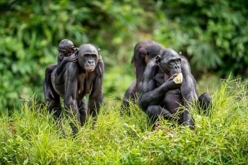 Deux mères bonobo avec leur progéniture