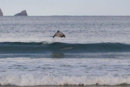Un dauphin à nez blanc qui saute au dessus d'une vague
