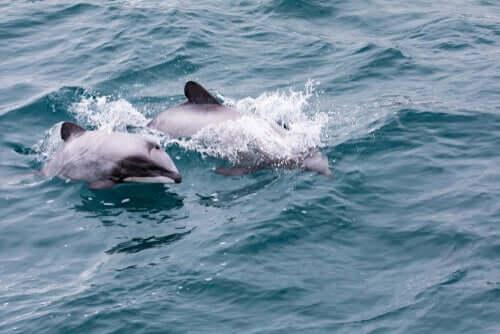 Le dauphin à nez blanc en Nouvelle-Zélande