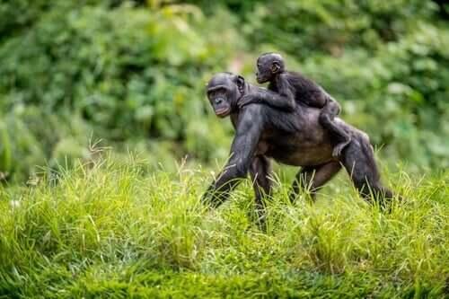 Les mères bonobo aident leurs petits à se reproduire