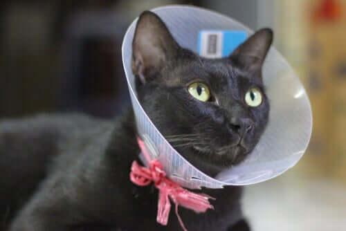 En quoi consiste la castration du chat ?