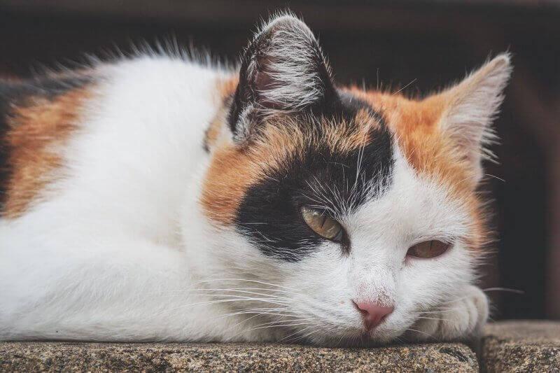 L'anémie chez les chats : comment la détecter ?