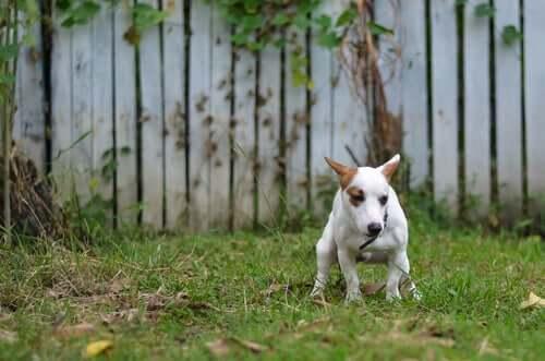 Un chien qui défèque dans la nature