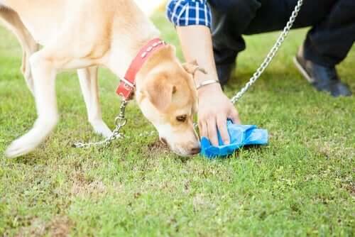 Un propriétaire qui ramasse les excréments de son chien