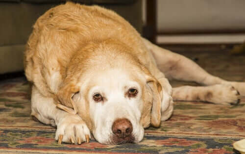 L'arthrite chez le labrador retriever