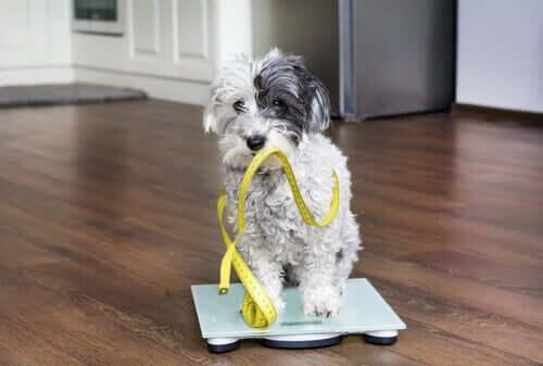 Le vieillissement des chiens passe par des changements de poids