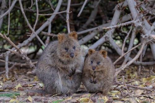 Un couple de quokka dans la nature