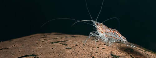 Un krill dans les profondeurs de l'océan