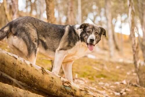 Le molosse, une des races de chiens disparues, est l'ancêtre du mastiff