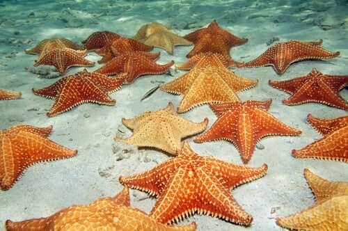 Un groupe d'étoiles de mer, qui sont des échinodermes