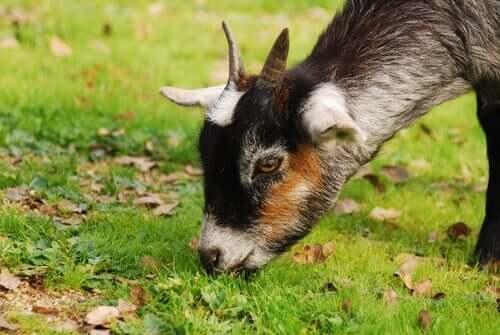 Une chèvre qui broute