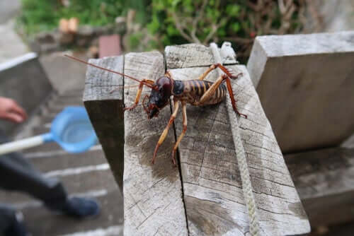Un weta sur une planche en bois