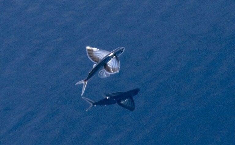 Découvrez 3 espèces de poissons volants
