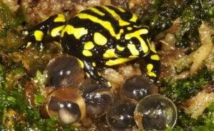 Une grenouille corroboree avec ses oeufs