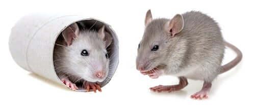 Deux souris de laboratoire