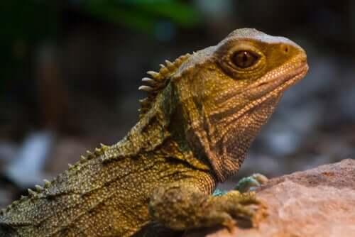 Le tuatara : un survivant de l'ère des dinosaures