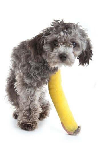 Un chien blessé au niveau des pattes qui porte un plâtre