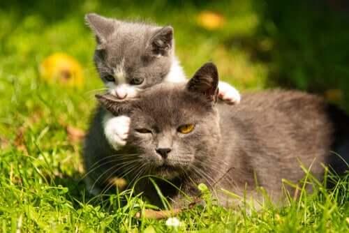 Une chatte venant de mettre bas à une portée de chatons
